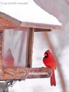 red cardinal winter feeder bird