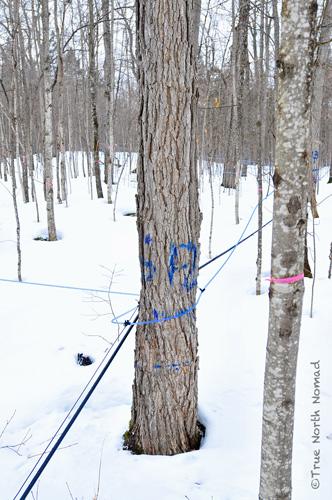 maple sugar lines fultons