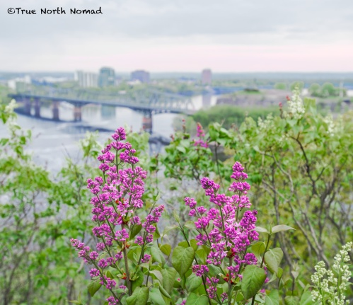 lilacs in bloom with the Alexander bridge in view from parliament hill