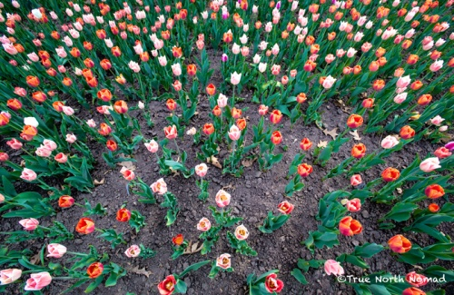 the never ending tulips