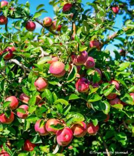 apples-4