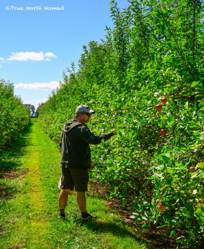 Q-picking-apples