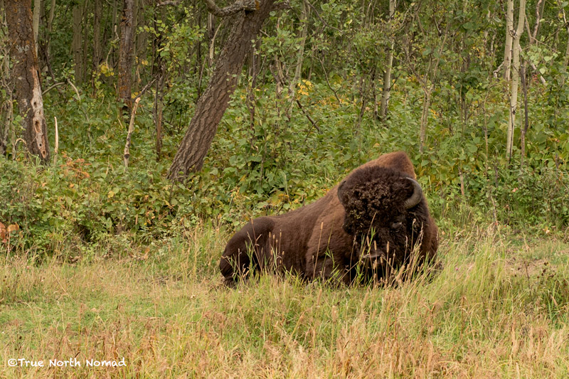 elk island national park, north american bison, hiking, travel, conservation